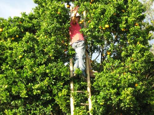 Laura harvesting oranges on their finca (farm)