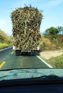 Homeward behind a load of sugar cane
