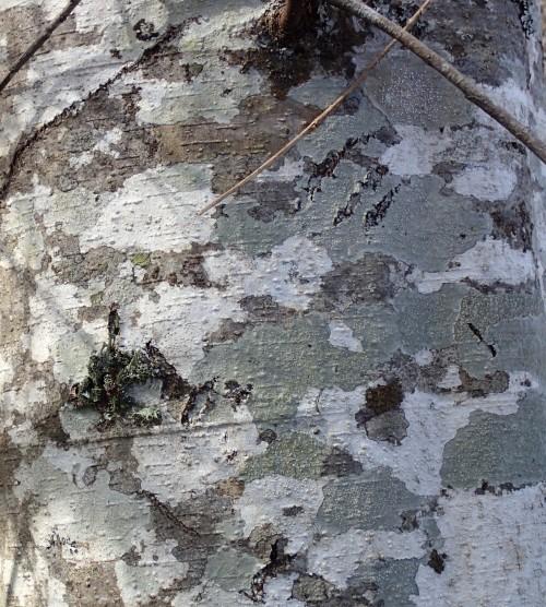 Alder bark