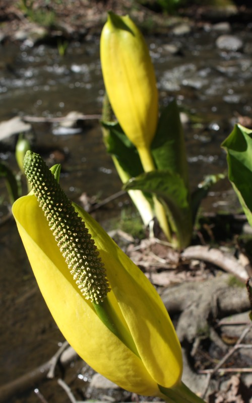 Skunk Cabbage ...they smell like a local hydroponic product