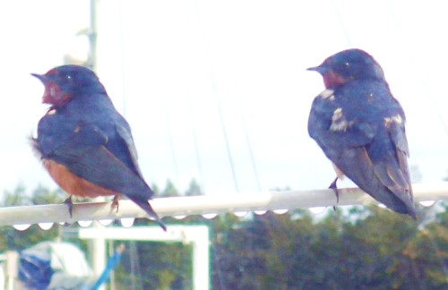 Birds on a wire, two Purple Martins outside a window on 'Seafire'