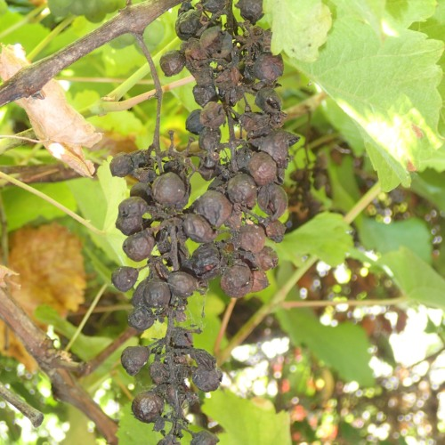 Raisins to be on the vine