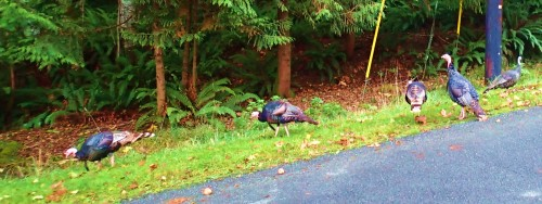 Thanksgiving on the hoof. Gabriola has loads of these feral turkeys
