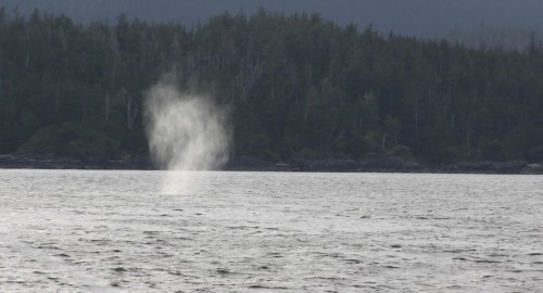 THAR!... Yep you've got it! Grey whale ahead