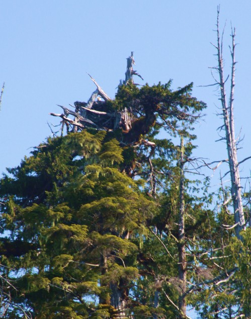 I'm watching you! a poor grabshot of an active eagle's nest in Blair Inlet