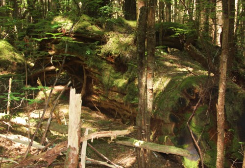 No burial here. This log left as economically unviable. Under the moss, the old cedar is still useable and makes excellent shingles.