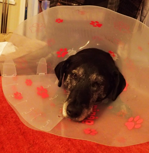Unhappiness is. One very unhappy dog on the day of his surgery. Two days later he had the funnel and his bandages off.