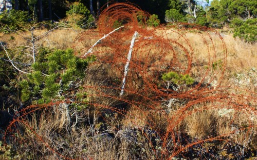 WWII happened here! A 70 year old roll of concertina wire in the bog marks the former camp perimeter. would it have delayed a horde of Japanese infantry attacking the air base?