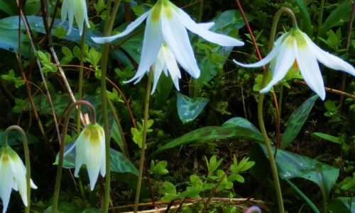 Fawn Lilies. A spring ritual of rebirth gone all too soon.