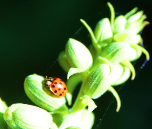 Lady bug, lucky bug