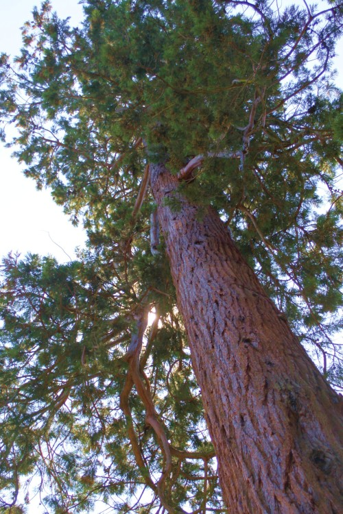 Look up, way up. A redwood blocks the sun