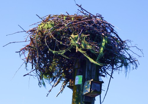 Peregrine Falcon Nest. a penthouse over a Purple Martin nesting box.