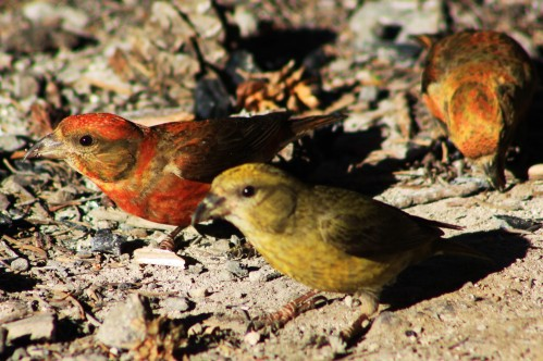 Red Crossbills there was a flock of seven, all determined there was something tasty in the campfire ashes