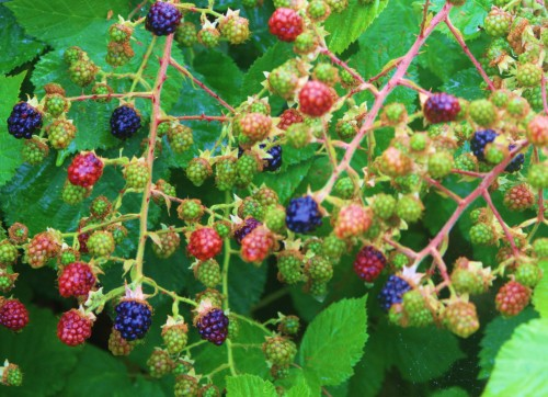 July 1st, A little rain, a perfect touch to a crop of blackberries that keeps on coming, all through the month.