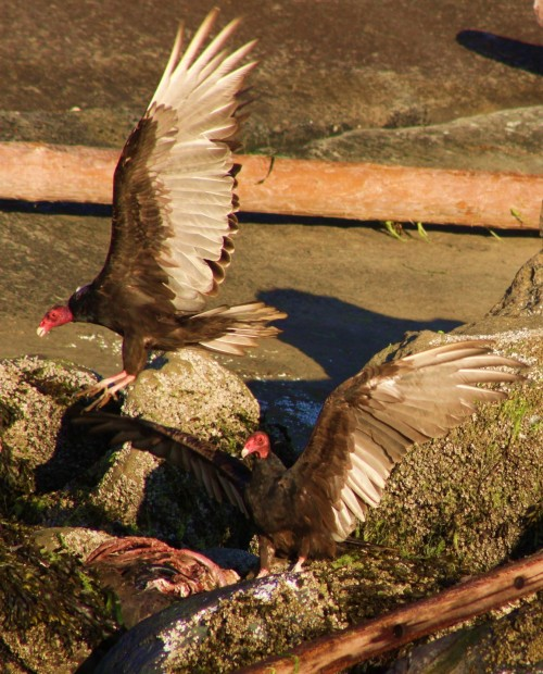 Buffet on the rocks. Turkey Vultures come back for more.