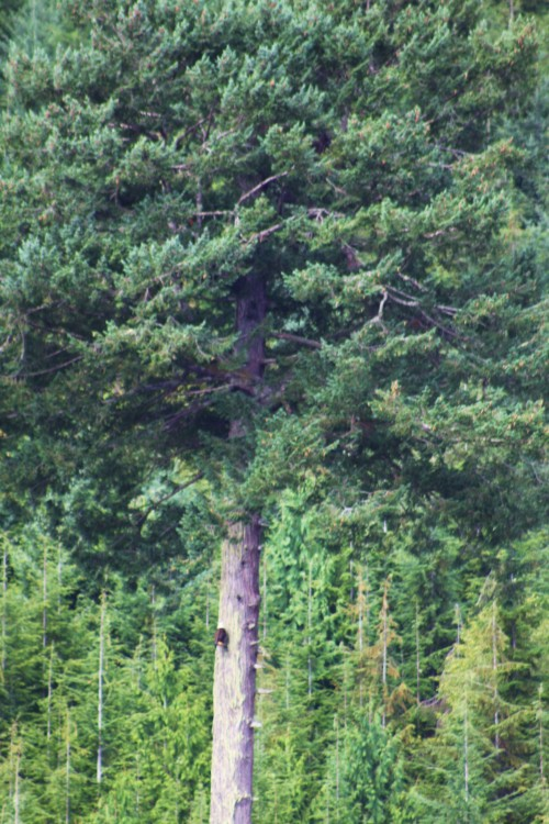 The Watcher. A bald eagle sits high in an old fir on a stubby limb and watches the world go by while waiting for lunch to arrive..
