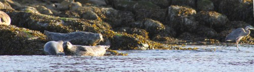 Harbour seals in the morning sun. They are masters at disguising themselves.