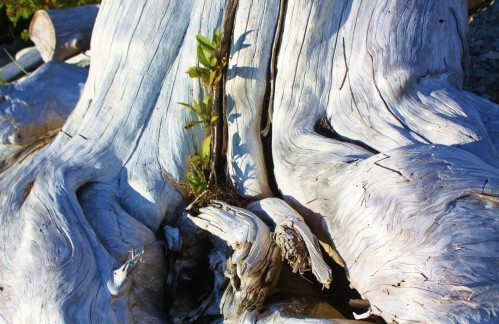 On the beach. Rebirth in the roots of a brine-burned stump.