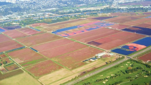 Cranberry fields forever. The fruit is harvested by flooding the field and skimming the floating berries.
