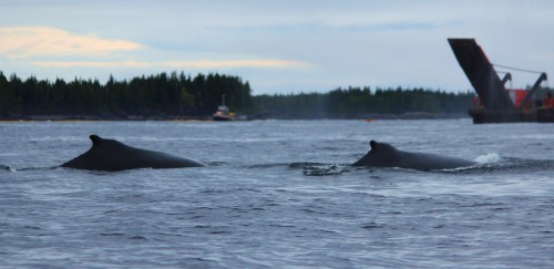 A pair of Humpback whales swim past some of the equipment onsite near the grounded tug. ...Photo courtesy of Carmen Olinger