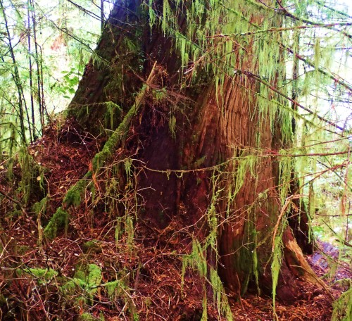 About ten feet across a the bottom, this Western Red Cedar shared the forest with several other beautiful giants.