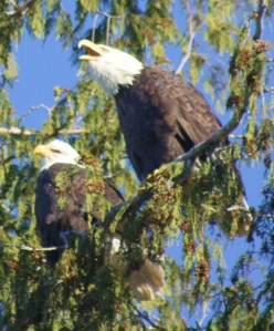 Beaking It out A pair of eagles sing a hungry song.