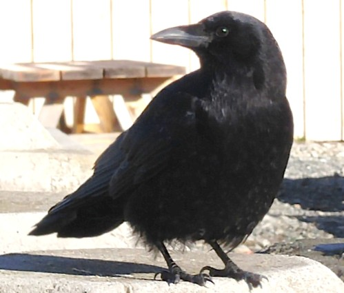 Greetings Uncle! Huge ravens and bold crows frequent Bella Bella. Some say they are the spirits of ancestors.